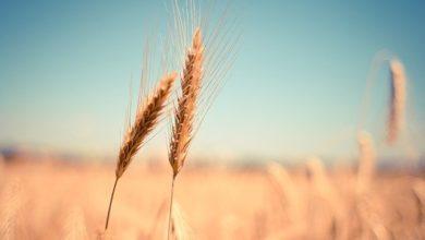 Photo of Alimentazione del futuro? Composta principalmente dai grani antichi